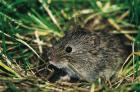 Common Vole phot. Agnieszka and Damian Nowak
